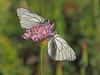 Aporia crataegi (diegocon1964) Tags: lepidoptera aporiacrataegi pieridae pierinae papilionoidea aporia crataegi pierini