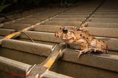 Japanese marsh frog - Nagahama, Okinawa (Okinawa Nature Photography) Tags: japanesemarshfrog frogsofokinawa canon1018mmstm wideanglemacro diffusedlight reptilesandamphibiansofokinawa okinawanaturephotography shawnmmillerphotography nagahamadam natureofokinawa wildlifeofokinawa nightphotographyokinawa canonoutdoors canon70d