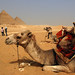 Study abroad program - Students and camels taking a break during a group camel ride around the great pyramids at Giza, Egypt
