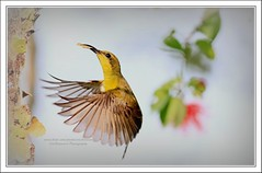 Olive-backed Sunbird (Ericbronson's Photography) Tags: bird nature canon interesting singapore wildlife sunbird olivebacked ericbronson