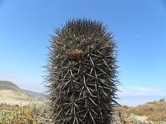 DSCN8449 (Robby's Sukkulentenseite) Tags: chile cactus cacti coquimbo t3 reise kaktus kakteen eriosyce standort subgibbosa neoporteria nigrihorrida lacebada ka4151s