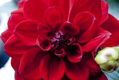 Dahlia () (pons5607_3) Tags: dahlia flower cute nature garden photography asia blossom sony taiwan dslr a230 dslra230