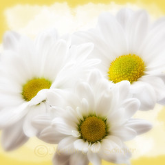 """Daisy (Omasjon) Tags: white flower macro green texture nature fleur yellow fleurs canon spring heart daisy naturesfinest thegalaxy excellentsflowers greatsshots coth5 exquisiteflores lovelymotherearth"""" itsallaboutflowers sunrays5"""