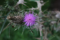 Thistle in Bloom (Tintinara) Tags: purple thistle violet bloom