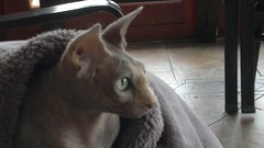 Skye likes her soaps. (mutter2009 *OFF*) Tags: skye videos nakedcats sphynxcats hairlesscats