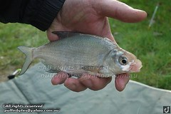 Bream - Abramis brama (puffinbytes) Tags: greatbritain england animals sussex unitedkingdom carps bream animalia minnows cyprinidae cypriniformes chordates chordata actinopterygii rayfinnedfishes abramis abramisbrama taxonomy:kingdom=animalia taxonomy:phylum=chordata taxonomy:class=actinopterygii taxonomy:family=cyprinidae taxonomy:order=cypriniformes leuciscinae spb:country=uk spb:id=01f5 spb:species=abramisbrama spb:pty=f taxonomy:subfamily=leuciscinae taxonomy:genus=abramis taxonomy:species=brama taxonomy:binomial=abramisbrama taxonomy:common=bream spb:lid=00at spb:pid=0k3q