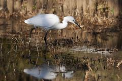 Japanese Crane I (agaudin) Tags: bird nature animal japanese crane wildlife 動物 公園 xsi 鳥 偕楽園 鶴 japanesecrane canonxsi 水戸市 偕楽園公園
