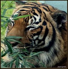 Tiger (kittycat35121/Joyce Green) Tags: tiger alabama birminghamzoo
