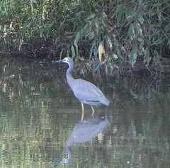 White-faced Heron (GordonP1) Tags: laratinga