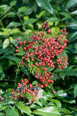 110325_123_Nandina domestica.jpg (Alan Buckingham) Tags: red kewgardens fruit spring berry berries evergreen shrub richmondpark isabellaplantation nandinadomestica heavenlybamboo sacredbamboo