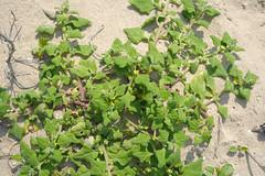 dao-38077 Tetragonia tetragonoides (mutolisp) Tags: flowers plants taiwan places matsu  aizoaceae  beigan tetragoniatetragonoides tetragonia