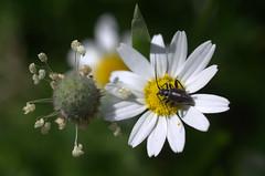 soggiorno e angolo cottura (voyager7000) Tags: sardegna macro sardinia natura fiori prato insetti nuxis voyager7000