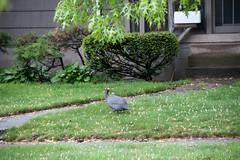 Strange Bird In Town (Hoffenbrau Studios) Tags: africa guinea overcast rainy noisy nwi griffithindiana