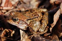 Sonnenanbeter (Maxi Winter) Tags: brown leaves laub frog braun amphibians bltter frosch frhling brgerpark ranatemporaria grasfrosch publicpark amphibien froschlurch emmasee