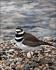 Kildeer (pjmaudsley) Tags: freedomtosoarlevel1birdphotosonly freedomtosoarlevel2birdphotosonly freedomtosoarlevel3birdphotosonly freedomtosoarlevel3birdsonly freedomtosoarlevel3birsdonly