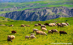 Flock of Sheep (Feng Wei Photography) Tags: china trip travel color green tourism nature beautiful beauty horizontal rural relax landscape scenery colorful asia village view sheep outdoor vibrant traditional rustic flock scenic vivid peaceful tranquility journey serenity vista xinjiang remote serene prairie charming oriental relaxed grassland roam tranquil qiongkushitai