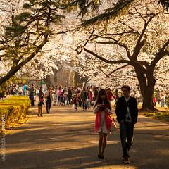 Sakura's Road / Tokyo, Japan (yameme) Tags: travel flowers nature japan canon eos tokyo shinjuku  sakura cherryblossoms      shinjukugyoen   24105mmlis 5dmarkii 5d2