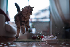 Kitten in Motion (torode) Tags: white water composite cat kitten cut flash bowl daisy splash highspeed hss