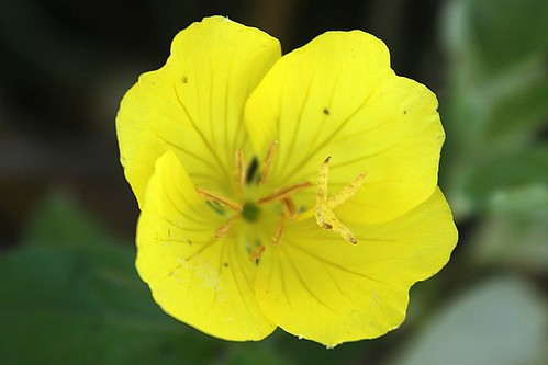 Common Sundrops Bloom 002