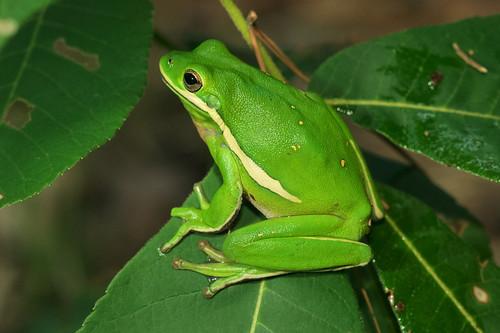 Herps of Arkansas: Green Treefrog (Hyla cinerea)