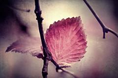 Mauved (Flick Vlooi) Tags: pink autumn light color macro art texture leaves leaf seasons purple pentax plum mauve twigs k5 smcpentaxdfa100mmf28wr