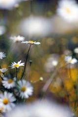 in between (Frau Koriander) Tags: flowers nature dof bokeh meadow wiese blumen kamille vivitar13528 botanischergartenbremen nikond300s