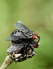Flesh-Flies . Love is in the Air . Explored 13.7.12 (claylaner) Tags: park macro insect cheshire country styal diptera sarcophagacarnaria fleshfly sarcophagidae truefly canon60d
