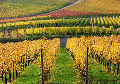 Autumn Vineyard (Habub3) Tags: park street travel autumn vacation favorite holiday plant cute green rot fall leave texture nature colors beautiful berg grass leaves lines yellow germany