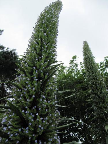 Echium pinnifolium (pininana)