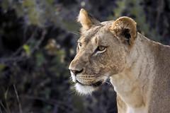 on the prowl (matt_in_a_field) Tags: africa portrait canon eos is kenya safari telephoto dslr samburu lioness 400mm 400d flickrbigcats