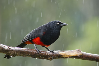 Red-bellied Grackle under the rain -EXPLORED-