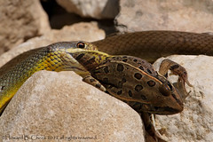 Yellowbelly Racer Attack! (HowardCheekPhotography.com) Tags: nature texas wildlife frog leopard prey eastern snakes reptiles racer coluber constrictor nonvenomous flaviventris yellowbelly macrolife photocontesttnc13