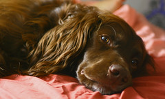 Reilly. (Adam Hinett) Tags: portrait dog brown face animal mouth mammal nose bed bedroom sigma canine tired rest 2470mm sigmaex