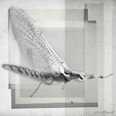 Mayfly (Passion4Nature) Tags: blackandwhite bugs textures flyfishing ie mayfly texturesquared magicuniverse magicunicornverybest magicunicornmasterpiece artisictreasurechest netartii
