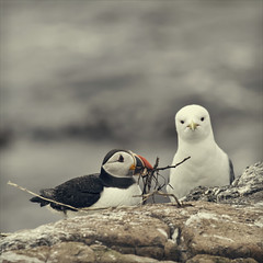 unrequited love (Black Cat Photos) Tags: sea cliff cute bird islands sticks waves expression adorable gift edge confused puffin present farneislands colony seabird unrequited kittiwake fraterculaarctica farnes unanswered prezzy innerfarne farns farnislands unreciprocated innerfarn highqualityanimals
