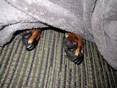 dog chien pet hound canine dachshund perro hund paws wienerdog dackel teckel k9 jimmydean doxie sausagedog dogpaws dogfeet aplaceforportraits pointyfaceddog