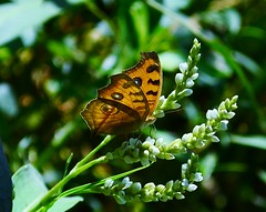 Search for nectar (his restless eyes) Tags: india flower macro beautiful yellow butterfly westbengal insecta nikond5100
