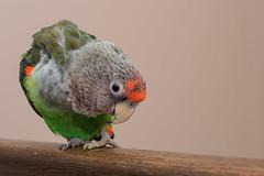 86:365 - Goober (nathascha) Tags: pentax parrot lea af360fgz poicephalus capeparrot pentaxfa50mmf14 nathascha greyheadedparrot poicephalusfuscicollissuahelicus k5ii