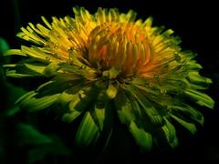 Spring me joy (vegeta25) Tags: flowers flower nature spring fuji fujifilm myfuji mothernatureatherbest s5800