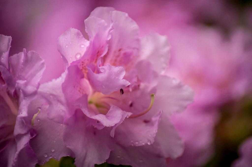 rhododendron blutezeit bla 1 4 ten stephanhabrich tags flowers germany deutschland natur blossoms blumen nrw blume kalender