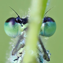 common blue damselfly (pen3.de) Tags: olympus omd m10ii zuiko 60mmmakro dragonfly libellenportt tropfen wildlife naturlicht morgens morgentau morgenlicht portrait makro