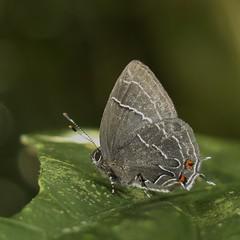 Temecla tema (hippobosca) Tags: ecuador lepidoptera hairstreak lycaenidae temeclatema