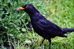 Blackbird (franciska_bosnjak) Tags: bird animal yard nikon outdoor blackbird d3100
