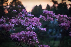 Dogwood Blossoms at Dusk (Colormaniac too) Tags: pink flowers sunset tree garden botanical spring colorful pacific northwest dusk blossoms olympicpeninsula sequim april dogwood deciduous washingtonstate ornamental blooming cherokeechief flypapertextures