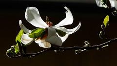 Magnolia kobus (Magnoliaceae) (Kaisaniemi Botanic Garden, Helsinki, 20160509) (RainoL) Tags: flowers plants white plant flower tree finland garden geotagged spring helsinki may clr magnolia helsingfors fin kaisaniemi kluuvi 2016 magnoliakobus uusimaa magnoliaceae nyland gloet kajsaniemi fz200 kaisaniemibotanicgarden 201605 geo:lon=2494676472 20160509 geo:lat=6017540948