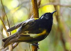 IMGP1206 Stitchbird (Hihi) Zealandia Wellington NZ 05-06-16 (Donald Laing) Tags: new birds native donald zealand wellington sanctuary laing zealandia