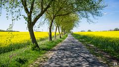 (lotl.axo) Tags: street germany deutschland natur pflanzen bäume raps blüten mecklenburgvorpommern mecklenburgischeseenplatte
