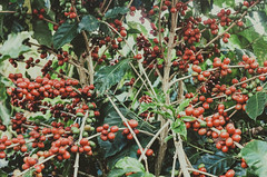 red coffee (d. perrotta) Tags: red plant green film nature coffee caf analog 35mm photography pentax grain