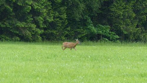 Reh vor dem Wald beim Hopfensee