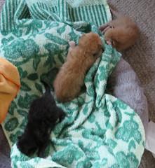 IMG_3275 (jaglazier) Tags: usa cats cute animals interiors babies unitedstates small may indiana kittens orphan bloomington mammals babyanimals 2016 51416 andysomogyi copyright2016jamesaglazier